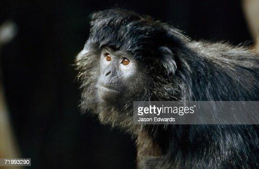 Melbourne Zoo, Victoria, Australia. Facial portrait of a silvered leaf monkey or silver langur. : Stock Photo