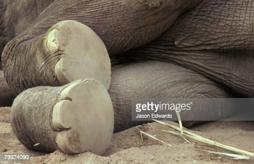 The underneath worn soles and toe nails of an Asian Elephant's feet.