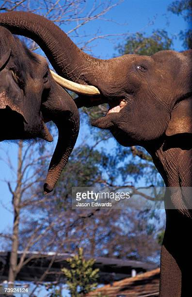 Asian Elephants bond whilst play wrestling with their trunks and tusk.