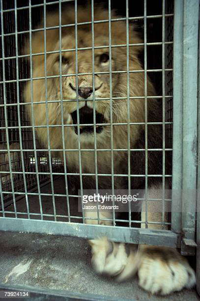 A famished Lion in a Zoo feeding cage shows frightening aggression.