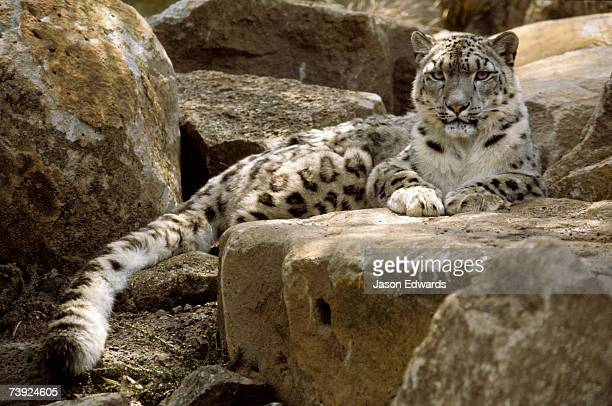 The watchful stare of a Snow Leopard belies its relaxed appearance.