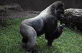 A powerful male silverback Western Lowland Gorilla.