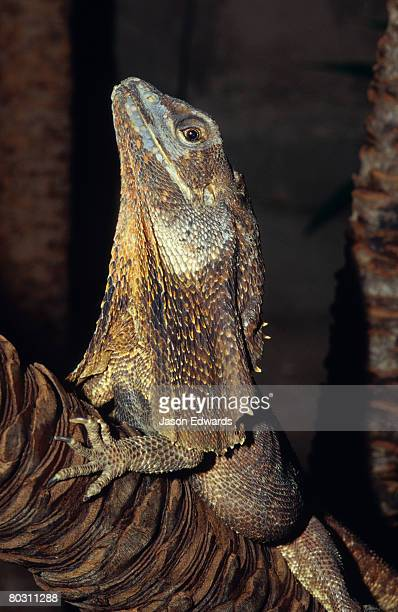 A Frilled Lizard roosting on a branch with its neck flap relaxed.