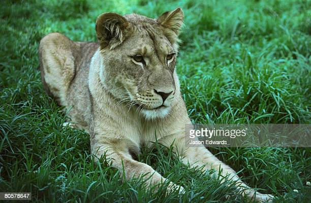 An African Lioness stretches out in green grass and cool shade.