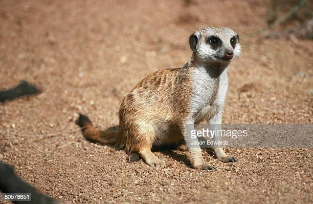 A Meerkat alert and proud surveys it's territory in the sand country.