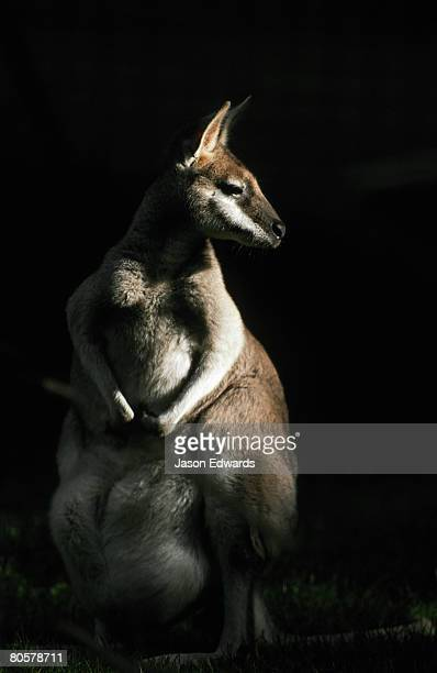 A beautiful female Whiptail Wallaby emerging from the shadows.