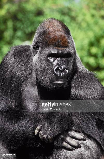 A proud silverback Western Lowland Gorilla watches his domain intently