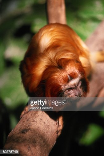 A tiny and endangered Golden Lion Tamarin moves along a tree branch.  : Stock Photo