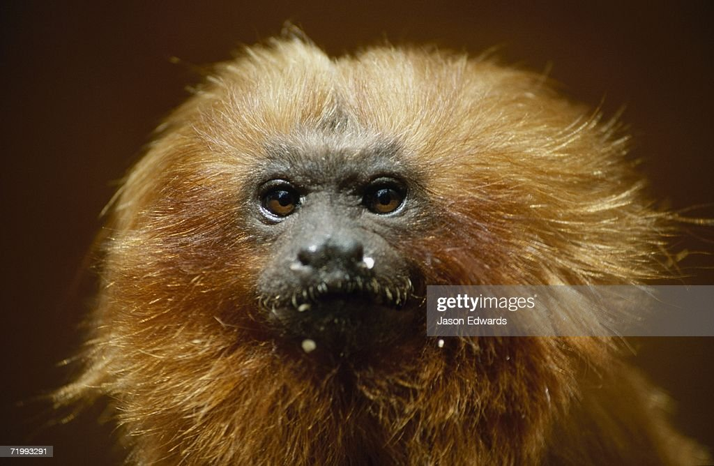 Melbourne Zoo, Victoria, Australia. Portrait of an endangered golden lion tamarin with orange-gold mane. : Stock Photo