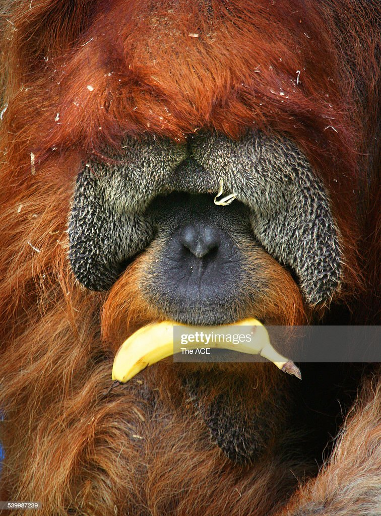Melbourne Zoo where orangutans eat bananas donated by a Queensland grower. THE AGE picture by CRAIG