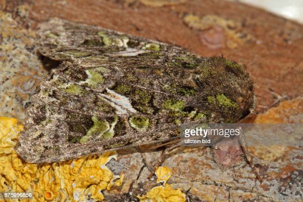Meldeneule Falter an Baumrinde mit gelber Flechte sitzend rechts sehend