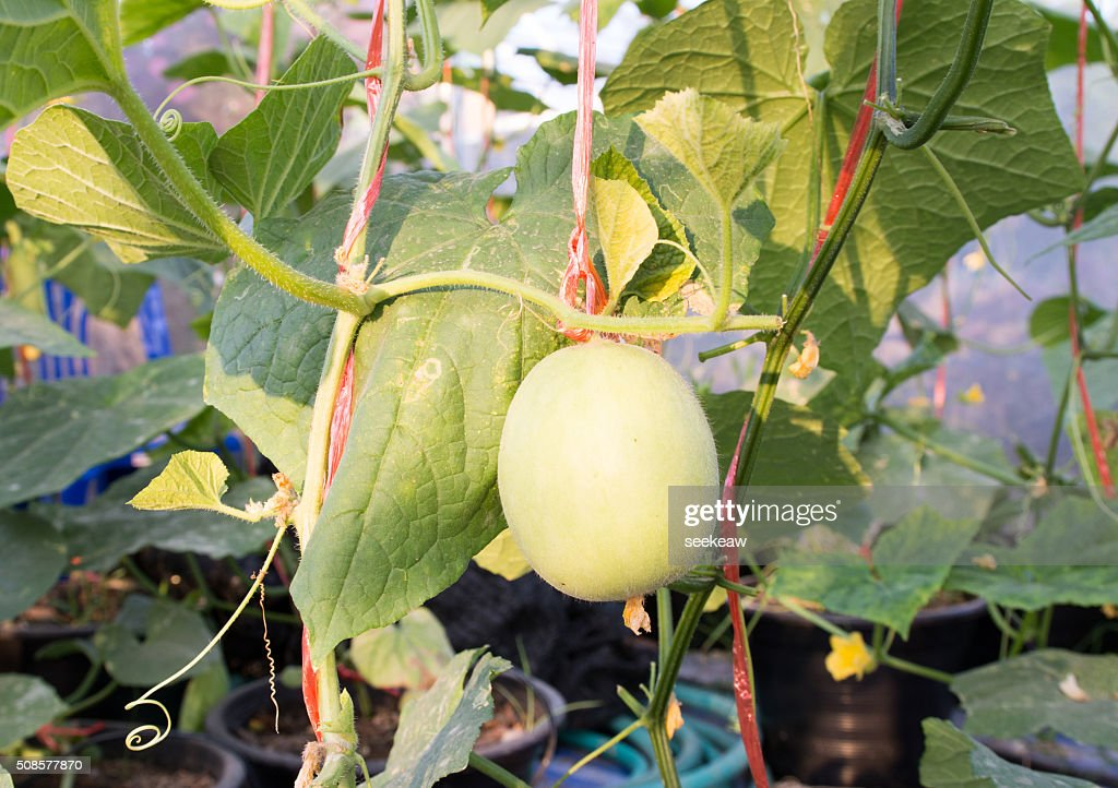 - Melone : Stock-Foto