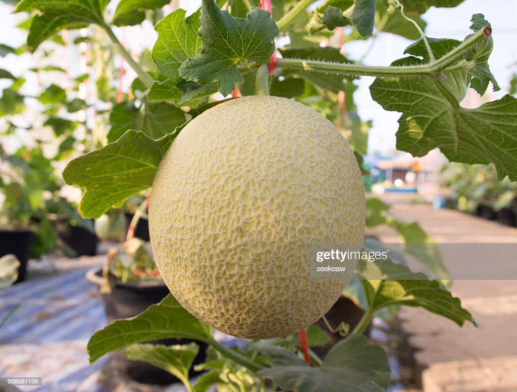 Melons in the garden : Stock Photo