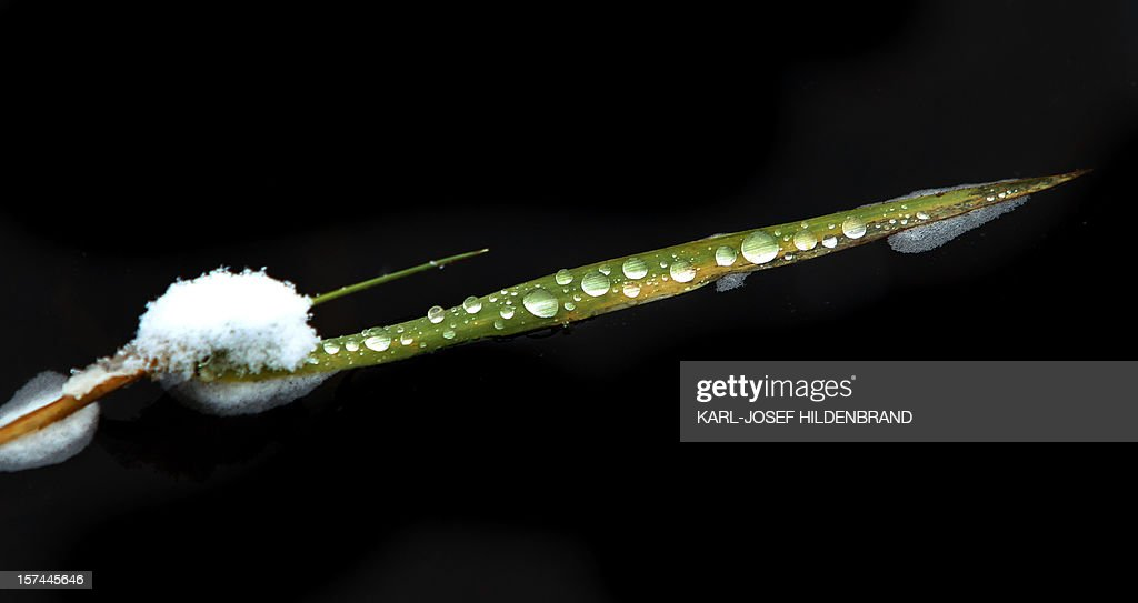 Melted drops of water lie on a reed leaf on Elbsee, southern Germany, on December 2, 2012.
