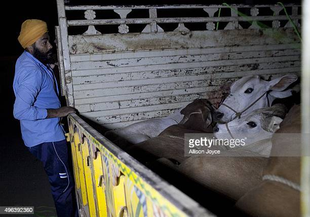 A member of a 'cow vigilante' group looks into the back of a truck that his group group chased down on November 8 2015 in Ramgarh Rajasthan India The...