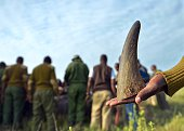 A member of a rhinotranslocation team at Lewa wildlife conservancy holdson to the sawedoff tip of a rhino horn as others process a sedated Black...