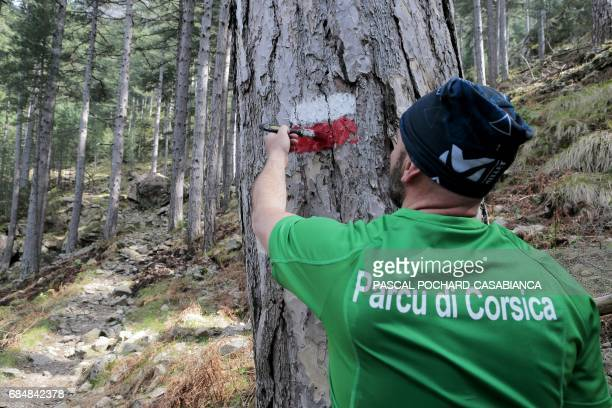 A member of Corsica's Regional Nature Park and in charge of the GR20 trek Benoit Vesperini paints red and white signs on a tree on April 4 2017 in...