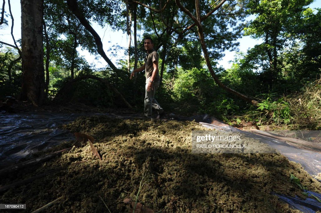 A member of Paraguayan SENAD (Antidrug National Agency) walks next to marijuana found at an improvised camp set into the woods in Pedro Juan Caballero (border with Brazil) 550 km northeast of Asuncion on April 19, 2013. AFP PHOTO/Pablo PORCIUNCULA