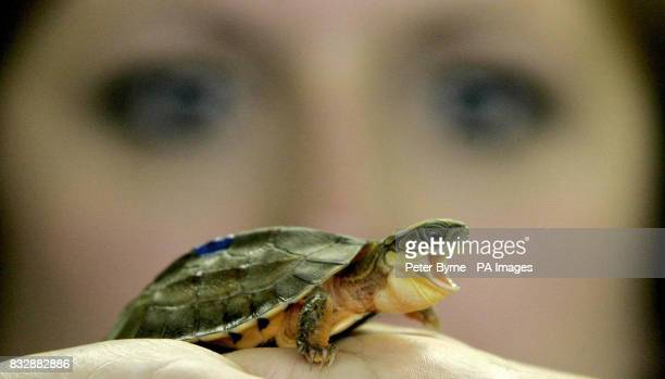 A member of staff examines a newborn Golden Coin Box turtle at Chester Zoo in Chester northern England