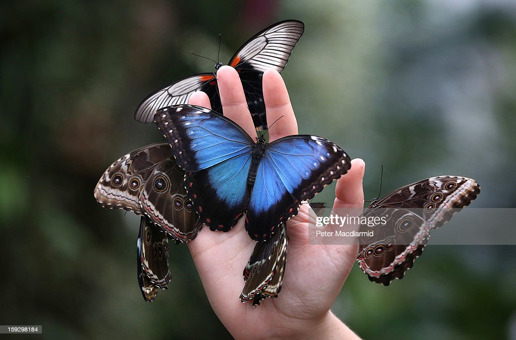 A member of staff holds a handfull of butterflies at The Glasshouse at RHS Wisley Gardens on January 11, 2013 near Woking, England. Rare and exotic butterflies have been placed in The Glasshouse for visitors from January 12 to February 24, 2013.