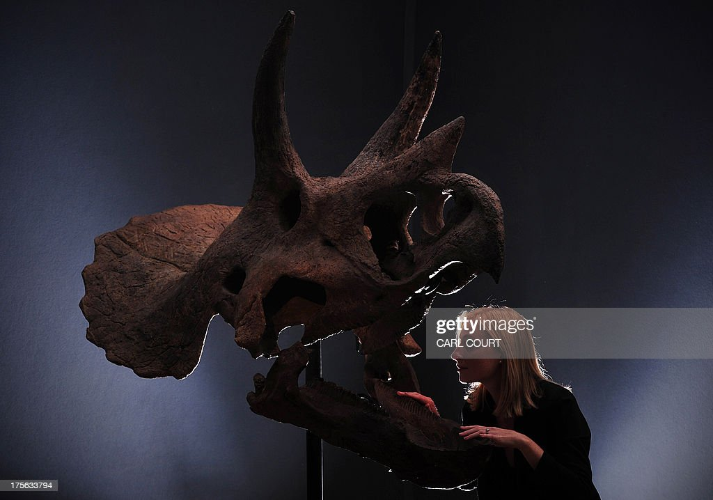 A member of staff poses next to a Triceratops skull at Christies auction house in central London on August 5, 2013. Forming part of the 'Out of the Ordinary' sale on September 5, 2013, it is expected to fetch between GBP 150,000 250,000 (USD 229,830 - 383,098, Euros 173,630 - 289,384) .