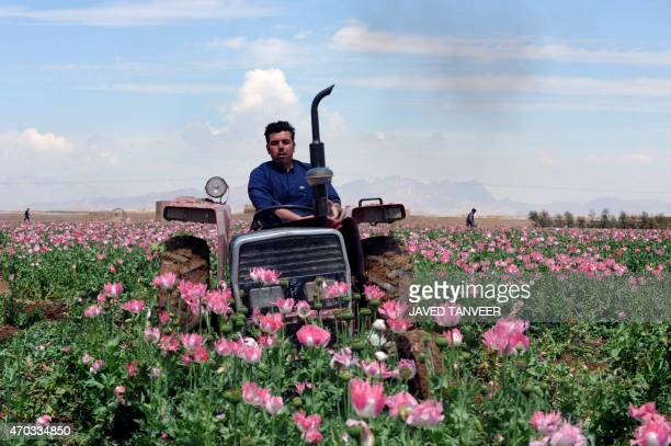 A member of the Afghan security force drives a tractor as he destroys an illegal poppy field in Maiwand district of Kandahar province on April 19...
