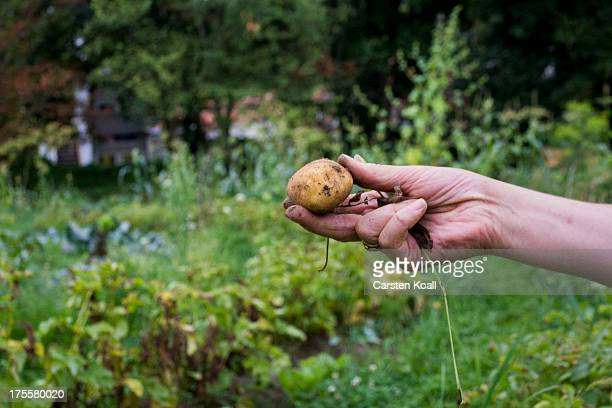 A member of the Bauerngarten Havelmathen gardening colony holds a harvested potato in her hand in her acreage in the Bauerngarten Havelmathen urban...