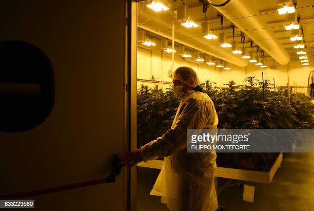 MACKINNON A member of the Italian Military's Cannabis Project Team enters the growing room of Marijuana to inspect pristine plant buds destined to be...