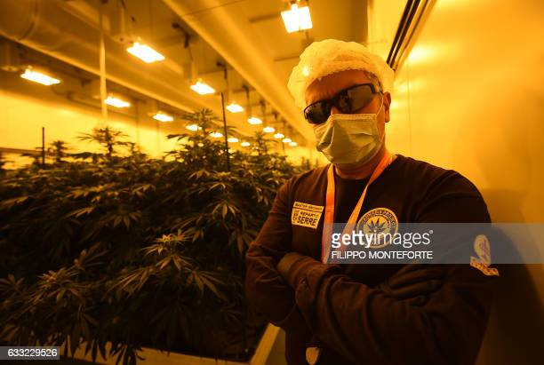 MACKINNON A member of the Italian Military's Cannabis Project Team works in the growing room of Marijuana and inspects pristine plant buds destined...