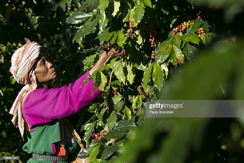 A member of the Lisu hill tribe picks Thai arabica coffee beans at the Thai High coffee farm on December 8, 2012 in Phrao, northern Thailand. The organic fair trade coffee farm was chosen to help produce the Black Ivory Coffee. The new brand of coffee is produced by harvesting the beans from the dung of a Thai elephant. It takes 15-30 hours for the elephant to digest the beans, then they are plucked later from their dung and washed and roasted. At $1,100 per kilogram or $500 per pound, the cost per cup equals $50, this makes the exotic new brew the world's priciest. It takes 33 kilograms of raw coffee cherries to produce 1 kilo of Black Ivory coffee.