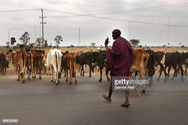 A member of the Maasai ethnic group walks with his cattle in search of grassland to graze his herd on August 16 2009 in Kisaju Kenya As Kenya...