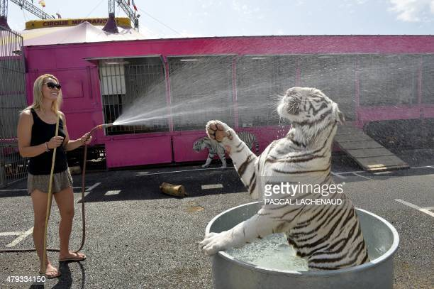 A member of the Medrano circus hoses down the circus's white tiger during hot weather in Limoges on July 3 2015 as a blistering heatwave sweeps...