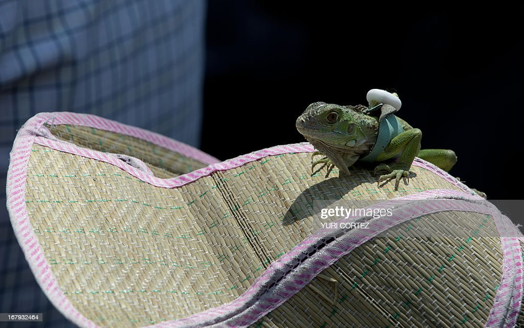 A member of the Meso-American Migrant Movement carries her iguana pet on her hat as he takes part in a protest in front of the US embassy in Mexico City to demand the deportation of Mexicans from the US to stop, on May 2, 2013. Migration will be among the top issues when US President Barack Obama visits Mexico and Costa Rica this week, and many in the region hope Washington will finally act to give 11 million undocumented workers a path to citizenship. Obama headed to Mexico on Thursday to put trade back at the heart of bilateral ties, but his southern neighbour's shifting drug war tactics loom large over the visit. AFP PHOTO / Yuri CORTEZ