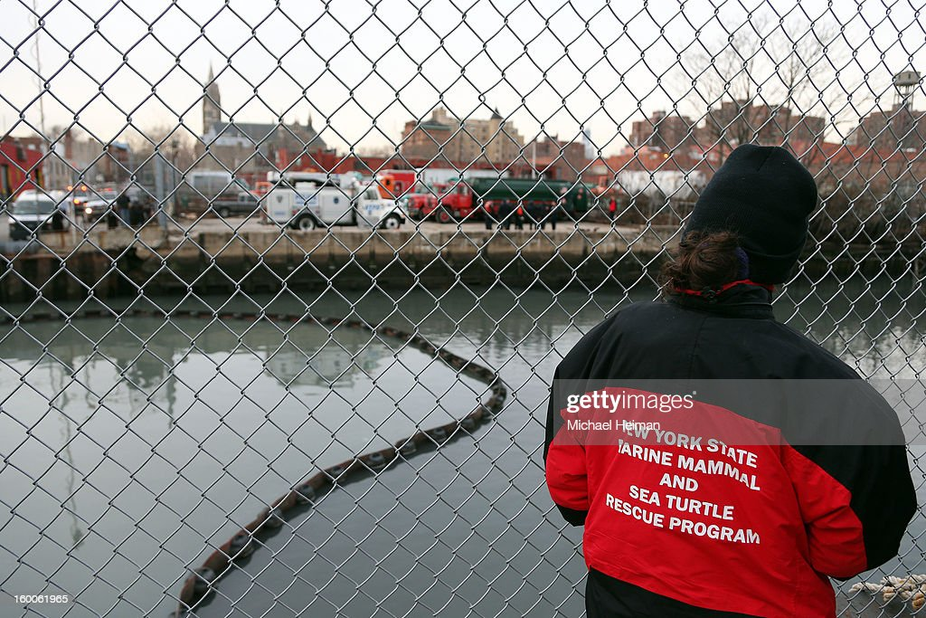 A member of the New York State Marine Mammal and Sea Turtle Rescue Program stands at the side of the Gowanus Canal where a common dolphin managed to get stuck on January 25, 2013 in Brooklyn borough of New York City. Officials are waiting till high tide in the hopes that the stuck dolphin will be able to free itself from the canal.
