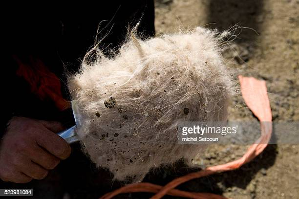 Member of the nomadic Tumurbaatar family near Hakhorin collects wool sheared off special cashmere goats in the Orkhon Valley | Location Hakhorin...