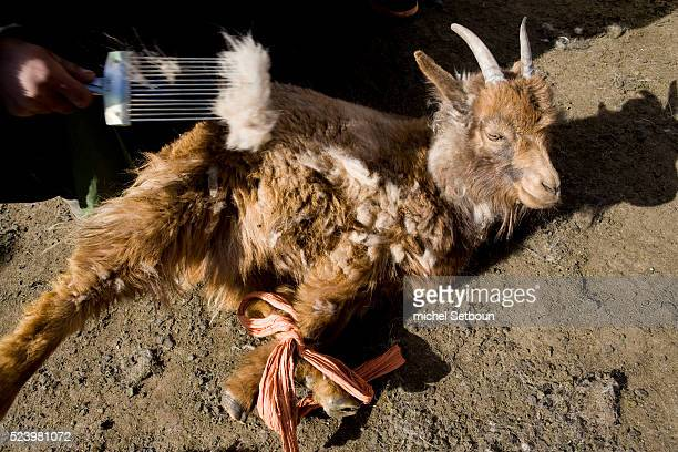 Member of the nomadic Tumurbaatar family near Hakhorin shear special cashmere goats in the Orkhon Valley | Location Hakhorin Mongolia