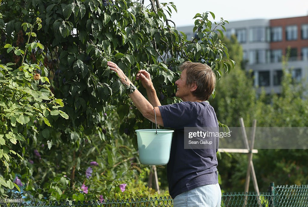 A member of the Oeynhausen Small Garden Association garden colony harvests plums froma tree in the garden she leases in the colony on August 29, 2013 in Berlin, Germany. At the Oeynhausen colony about 300 of its 438 gardens are currently threatened by real estate development, as are about another 24 colonies across the city. Berlin has about 900 garden colonies that are owned by the city and that provide urban dwellers who don't have land of their own the opportunity to maintain a garden and escape the stress of urban life. Berlin is currently undergoing a housing squeeze and city authorities are beginning to sell some of the colonies to developers, which has caused outrage in a city where the colonies of small gardens are a deep-seated tradition going back over a century.