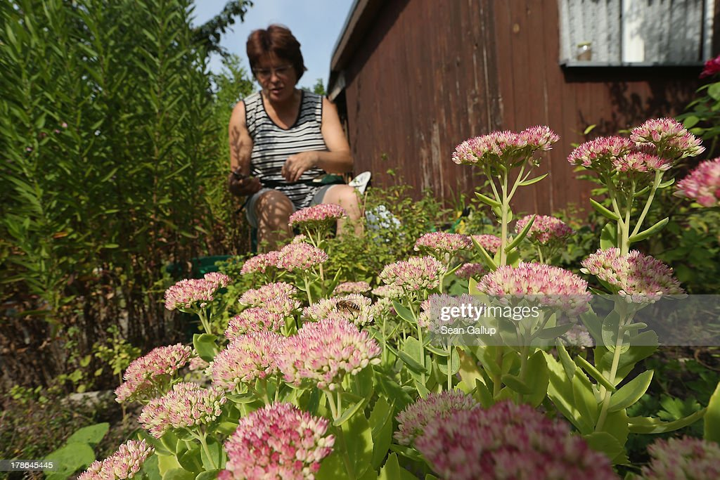 A member of the Oeynhausen Small Garden Association garden colony works among flowers at the garden she leases in the colony on August 29, 2013 in Berlin, Germany. At the Oeynhausen colony about 300 of its 438 gardens are currently threatened by real estate development, as are about another 24 colonies across the city. Berlin has about 900 garden colonies that are owned by the city and that provide urban dwellers who don't have land of their own the opportunity to maintain a garden and escape the stress of urban life. Berlin is currently undergoing a housing squeeze and city authorities are beginning to sell some of the colonies to developers, which has caused outrage in a city where the colonies of small gardens are a deep-seated tradition going back over a century.