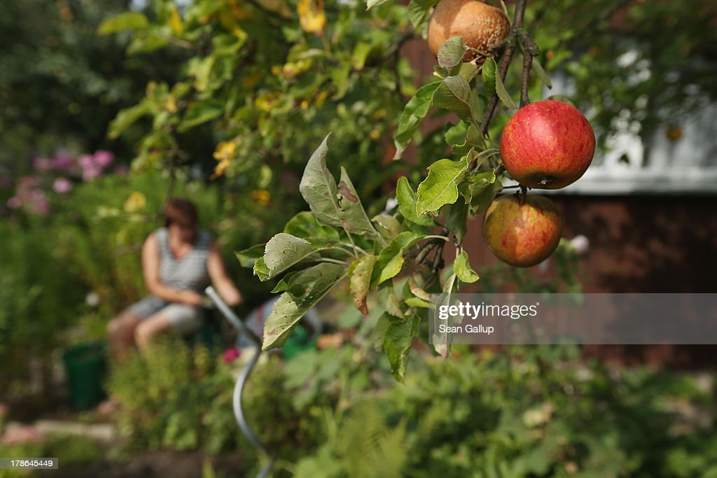 A member of the Oeynhausen Small Garden Association garden colony works next to an apple tree at the garden she leases in the colony on August 29, 2013 in Berlin, Germany. At the Oeynhausen colony about 300 of its 438 gardens are currently threatened by real estate development, as are about another 24 colonies across the city. Berlin has about 900 garden colonies that are owned by the city and that provide urban dwellers who don't have land of their own the opportunity to maintain a garden and escape the stress of urban life. Berlin is currently undergoing a housing squeeze and city authorities are beginning to sell some of the colonies to developers, which has caused outrage in a city where the colonies of small gardens are a deep-seated tradition going back over a century.