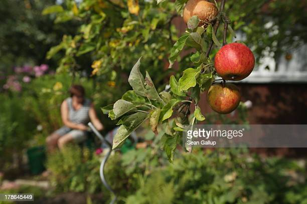 A member of the Oeynhausen Small Garden Association garden colony works next to an apple tree at the garden she leases in the colony on August 29...