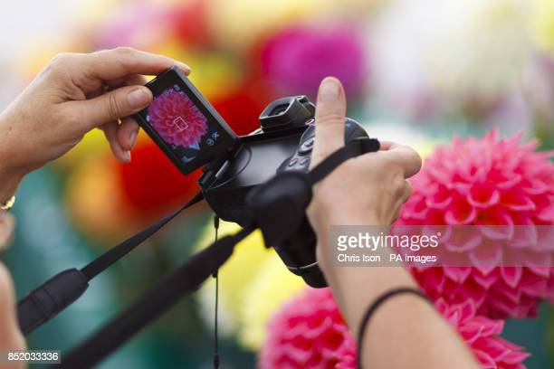 A member of the public photographs flowers at the National Dahlia Society's Annual Show at RHS Wisley in Surrey around 100 exhibitors entered the 80...