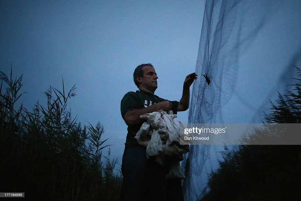 BTO member Phil Jones, who is employed by the wetland trust, collects hirundines from a mist net as they come in to roost on a private reserve in East Sussex on August 21, 2013 in Rye, United Kingdom. The BTO (British Trust for Ornithology) are currently in the process of recording migrating hirundines and other birds at the reserve. Hirundines comprise of Sand Martins, House Martins and Swallows, all of which roost in high numbers on the reserve over summer before continuing their migratory route back to Africa. The reserve is close to the East Sussex coast, and forms an ideal habitat for many resident and migratory birds, comprising of low lying reedbeds and marshy peat bog. The site is one of the worlds largest ringing stations, and with the help of BTO staff, trained ringers and volunteers as many as 1000 hirundines can be ringed in one evening at this time of year. Many other birds are also ringed including Nightjar, Grasshopper Warbler and Sparrowhawk. Volunteers capture the birds using long mist nets which are erected and run through the reedbeds before the birds come in to roost every evening. The birds details are then recorded before being released the following morning to contiinue it's journey. The Information gathered including age, weight and sex allows the BTO to monitor long-term population and global migration patterns which is important for conservation.