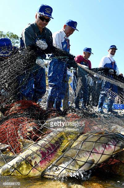 Members of a fisheries cooperative association capture salmon in a traditional net on the Kidogawa river on October 18 2015 in Naraha Fukushima Japan...