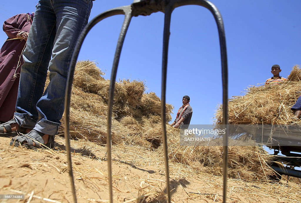 Members of a Palestinian family harvest their wheat field during the annual harvest season outside the Khan Yunis refugee camp in the southern Gaza Strip on May 15, 2013.