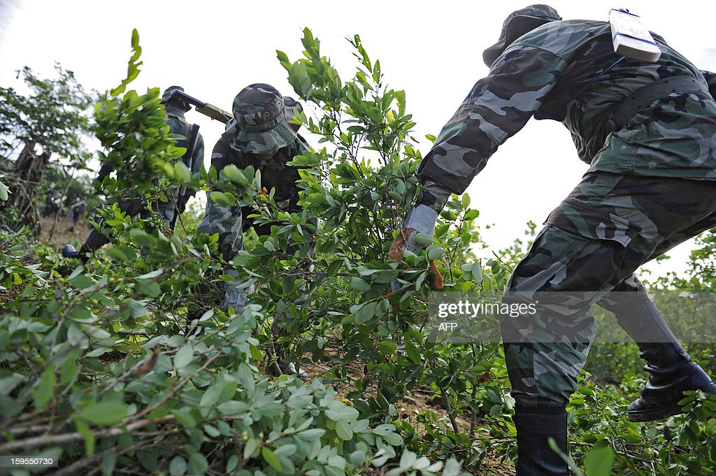 Members of the Bolivian Joint Task Force pull coca plants up during the start of the year's activities in Chimore, Bolivia on January 15, 2013. AFP PHOTO/Jorge Bernal