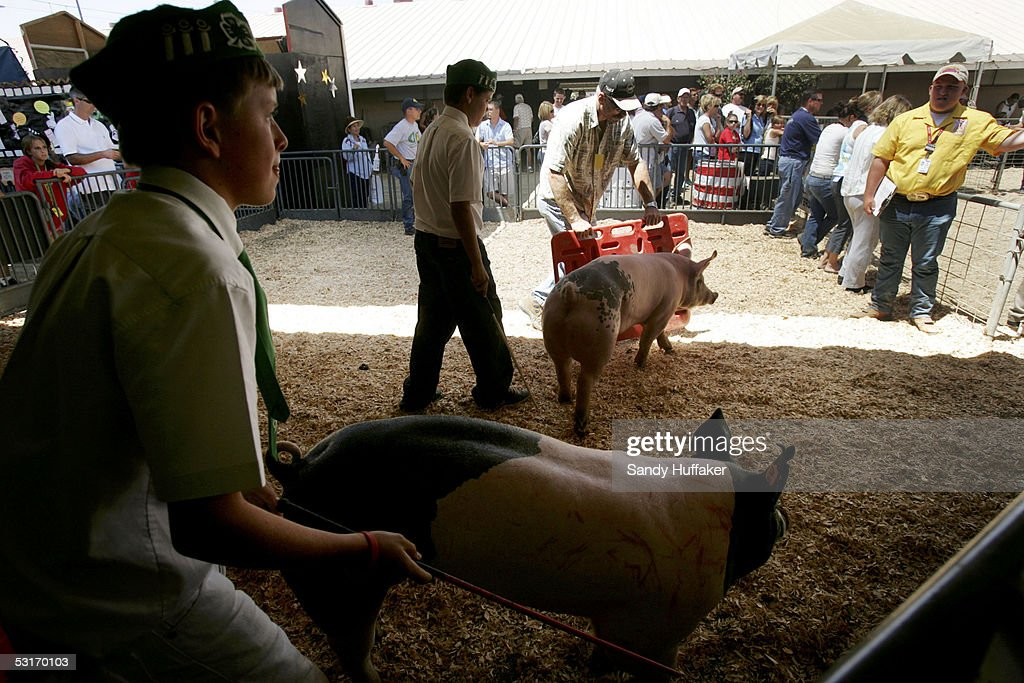Members of the Fallbrook 4H Club move their hogs into the showring during competition at the San Diego County Fair June 29 2005 in Del Mar California...