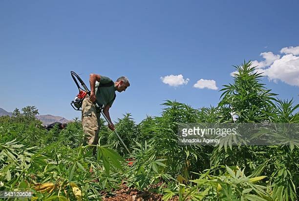 Members of the 'Flag14 Martyred Gendarme Lieutenant Abdulselam Ozatak Joint Special Forces' destroy cannabis fields during an operation in Diyarbakir...