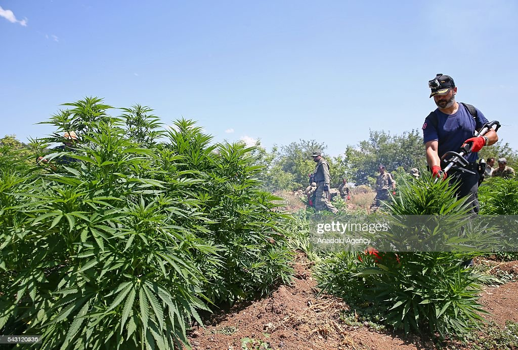 Members of the 'Flag-14 Martyred Gendarme Lieutenant Abdulselam Ozatak Joint Special Forces' destroy cannabis fields during an operation in Diyarbakir, Turkey on June 26, 2016. The 'Flag-14 Martyred Gendarme Lieutenant Abdulselam Ozatak Joint Special Forces Operation' continues, with 24 batallions under the 7th Diyarbakr Corps Command in Lice and surrounding areas. The operation, begun in mountain and forest areas where high ranking terrorist commanders are believed to be sheltering, aims to render terrorists ineffective, destroy areas of cannabis cultivation that serve as sources of finance for the terrorist organization and take apart shelters and depots, and continues with its successes. As part of the operation, 6 million 438 thousand cannabis plants have been uprooted and destroyed. The aim is to dry up one of the biggest sources of finance for the PKK terrorist organization.