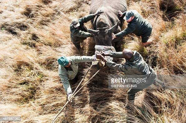 Members of the Kruger National Park Veterinary Wildlife Services in South Africa guide a sedated white rhino toward a loading truck in the Kruger...