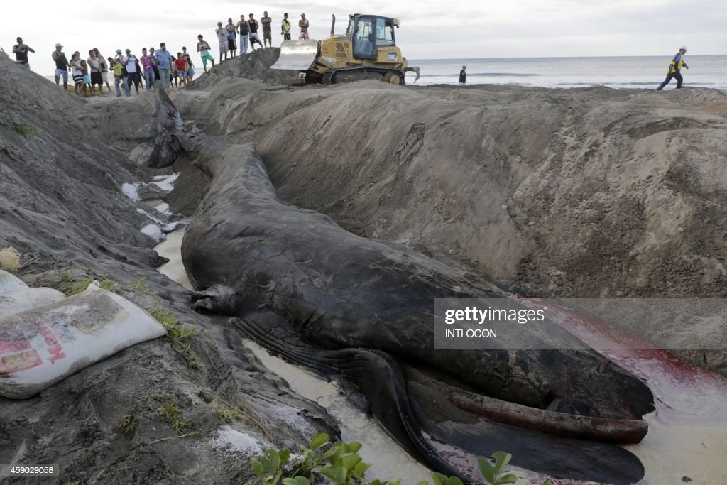 Members of the municipality of Rivas, bury a whale that got stranded on the eve in the small beach town of Popoyo, Rivas Department, in southwestern Nicaragua, on November 15, 2014. AFP PHOTO / Inti OCON